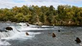 Katmai National Park's Fat Bear Week