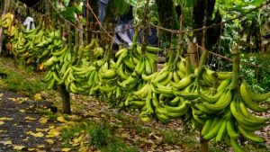 Image of fairtrade bananas