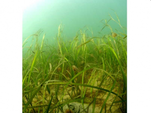 Zostera marina