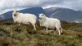 The difference between sheep: Bevan and the 'Welsh Day' debate